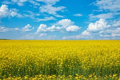 Field of yellow flowering rape and a blue sky stock images