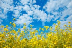 Field of yellow flowering rape and a blue sky royalty free stock image