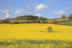 Beautiful Yellow Rapeseed Fields. Isolated tree stands in a Beautiful Yellow Rapeseed fields in Somerset England Stock Photos