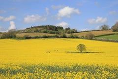 Beautiful Yellow Rapeseed Fields Stock Photos