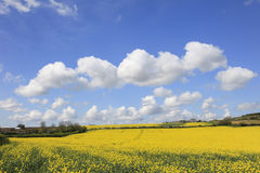Beautiful Yellow Rapeseed Fields. In Somerset England Stock Image