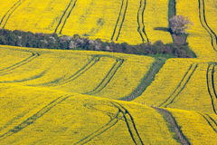 Beautiful yellow rapeseed fields in South Moravia stock images