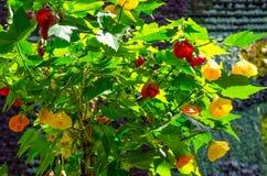Beautiful yellow and red Abutilon x hybridum Chinese lantern flower at a botanical garden. A Beautiful yellow and red Abutilon x hybridum Chinese lantern flower stock photo