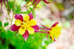 Beautiful Yellow Red Columbine Flower in a spring season at a botanical garden. A Beautiful Yellow Red Columbine Flower in a spring season at a botanical garden stock image