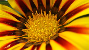 Beautiful yellow and red Flower Royalty Free Stock Images