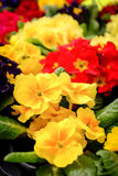 Beautiful Yellow and Red Flowers in Pots Stock Photos