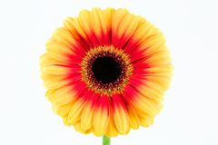 Beautiful yellow and red gerbera flower isolated on white background. A single beautiful yellow and red gerbera flower isolated on white background royalty free stock photos