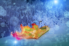 Beautiful yellow red green autumn maple leaf on snow near the plants covered with hoarfrost with a nice blurred bokeh Royalty Free Stock Photography
