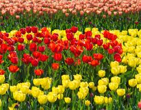 Beautiful yellow, red and purple tulip field closeup. Beautiful yellow, red and purple tulip tulip field closeup in the park Royalty Free Stock Images