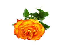 Beautiful yellow-red rose Stock Image