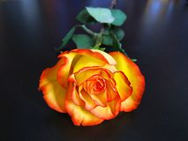 Beautiful yellow and red rose Stock Photos