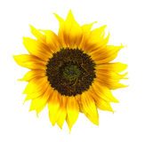 Beautiful yellow and red sunflower isolated on white. Stock Photo