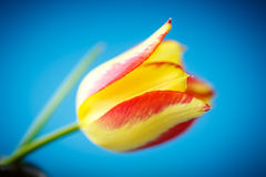 Beautiful yellow with red tulip Royalty Free Stock Photos