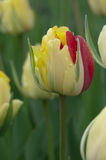 Beautiful yellow and red tulip bud Royalty Free Stock Image