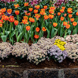 Beautiful yellow and red tulip Stock Photo