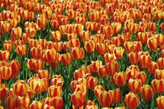 Beautiful yellow and red tulip field  closeup. Beautiful yellow and red tulip field closeup in the park Royalty Free Stock Photography