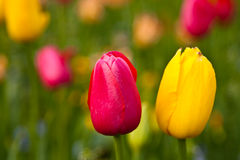 Beautiful yellow and red tulips Stock Photo