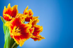 Beautiful yellow red tulips Royalty Free Stock Photo