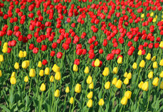 Beautiful yellow and red tulips natural background Stock Image