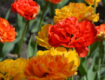 Beautiful yellow and red  tulips, top view. Red and yellow tulips in the park. Colorful natural background Royalty Free Stock Photo