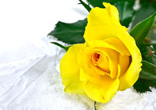 Beautiful yellow rose Stock Photos
