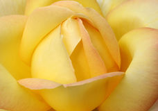 Beautiful yellow rose Stock Images