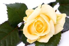Beautiful yellow rose. Beautiful rose isolated on white background Royalty Free Stock Images
