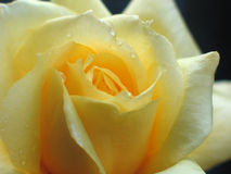Beautiful yellow rose. With drops Royalty Free Stock Photos