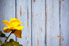 Beautiful yellow rose against blue wooden planks background Stock Photo