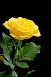 Beautiful yellow rose on black Stock Images