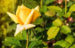 Beautiful yellow rose blooms in the garden background of green leaves and stems, the concept of postcards.  stock photos