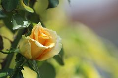 A beautiful yellow rose flower taken in the morning Stock Photo