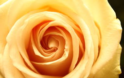 Beautiful yellow rose close-up Royalty Free Stock Photo