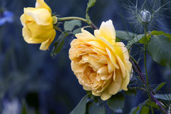 Beautiful yellow  rose. Beautiful yellow rose on a dark background Royalty Free Stock Photography
