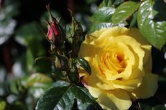 Beautiful yellow rose and dark green leaves. Picture made in Norway in Alesund royalty free stock image