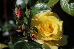 Beautiful yellow rose and dark green leaves. Picture made in Norway in Alesund stock images