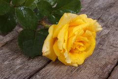 Beautiful yellow rose with drops of dew Stock Photos
