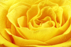 Beautiful yellow rose flower. Сloseup Royalty Free Stock Image