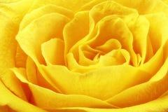 Beautiful yellow rose flower. Сloseup Royalty Free Stock Image