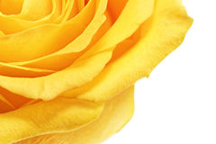 Beautiful yellow rose flower. Сloseup. Isolated. Stock Images