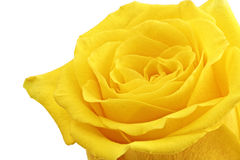 Beautiful yellow rose flower. Сloseup. Isolated. Stock Photography