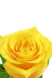 Beautiful yellow rose flower. Сloseup. Isolated. Stock Photos