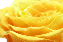 Beautiful yellow rose flower. Сloseup. Isolated. Stock Photo