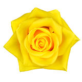 Beautiful Yellow Rose Flower Isolated on White Royalty Free Stock Photography