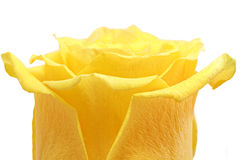 Beautiful yellow rose flower. Сloseup. Isolated. Royalty Free Stock Images