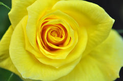 Beautiful Yellow Rose Flower Stock Images