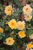 Beautiful yellow rose flowers at a garden. Gardening - yellow rose flowers at a park Stock Photos