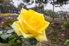 Beautiful yellow rose Stock Photography