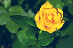 Beautiful yellow rose. In the garden Royalty Free Stock Photo