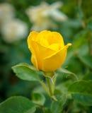 Beautiful yellow rose in a garden Stock Photo